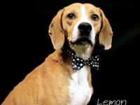 Lemon is a handsome 2-year-old red and white beagle who