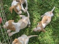 CKC registered Lemon colored Beagle puppies ready now.