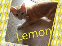 Lemon's story All of our kittens are in various foster