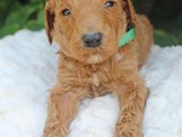 Lennox is a red male typical poodle which was birthed