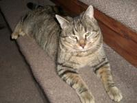 Lenny is a handsome classic tabby, with stripes