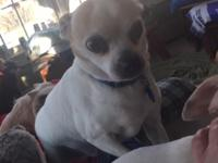 My name is Leo, I am 7 year old, 10lb chihuahua/terrier