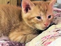 Leo's story Leo is a male orange tabby kitten, born on