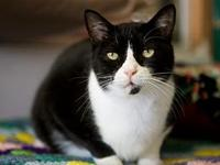 My story Handsome short-haired Black and White Tuxedo