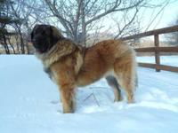 Leonberger young puppies pet high quality only readily