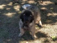 Beautiful 11 week old Male Purebred Leonberger Puppy