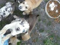 Leopard Cur puppies for sale. Come from working