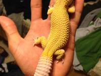 i am selling my collections of leopard geckos and