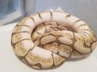 Here I have a lesser bee female ball python In good