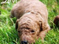 Levi is a red male basic poodle which was born upon