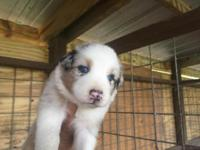 Levi is a AKC handsome Blue Merle Male with blue eyes
