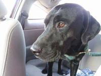 Levi is a sweet and friendly 2 yr old black male. Levi