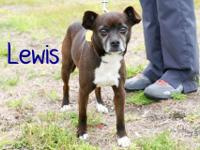 Lewis is an adult Chihuahua mix rescued from Santa