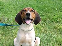 Lexi $250's story Meet Lexi! She is a beautiful beagle,