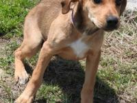 Lexi is a medium sized female Cur, brown and white in