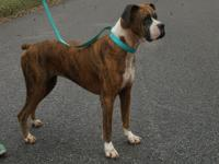 Lexi is a 5 year old brindle female Boxer. She is