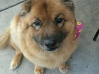 Chow mix Spayed female Current on vax 45 lbs 11 years