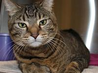 Lexi's story Lexi is a brown tabby Domestic Short Hair