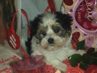 Stunning female Morkie seeking her forever home. Lexi
