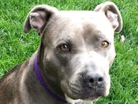 Lexi is a 5 year old blue nose pit. She is spayed and