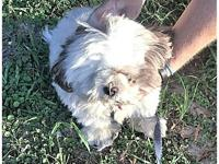 Lexi's story Lexi is an 8 year old Shih Tzu whose