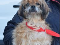 Lexi is a senior Shih tzu cross, a petite little dog