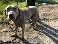 This pretty lady is Lexie, a 5-year-old silver lab mix
