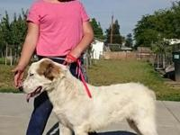 Livestock guardian dogs. Pure breed female puppy. 8
