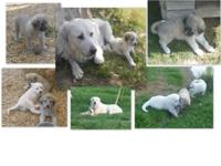I have a litter of Great Pyrenees/Akbash pups that will