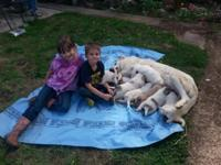 Livestock Guardian puppies born August 27. They have