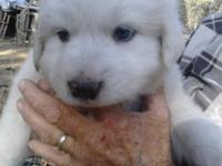 3 FEMALES AND 1 MALE. 3/4 GREAT PYRENEES 1/4 MAREMMA.