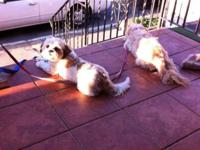 I have two Lhasa apso pups left for sale in my litter.