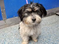Lhasa Apso - A1222167 - Small - Young - Male - Dog