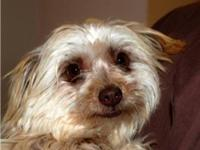 Lhasa Apso - Addison - Small - Young - Male - Dog 2