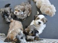 Gorgeous Lady Lhasa Apso Puppies have their shots, are