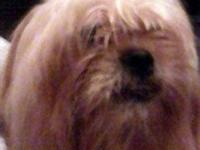 Lhasa Apso - Austin - Small - Adult - Male - Dog Gets