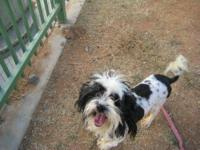 Lhasa Apso - Axel - Small - Adult - Male - Dog