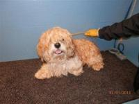 Lhasa Apso - Barkley - Medium - Adult - Male - Dog Hi I