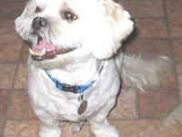 Lhasa Apso - Bodhi - Small - Adult - Male - Dog Bodhi