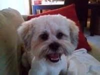 Lhasa Apso - Buda - Medium - Young - Male - Dog Email
