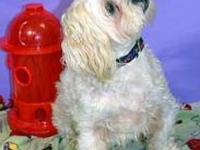Lhasa Apso - Buzz - Small - Adult - Male - Dog Buzz is