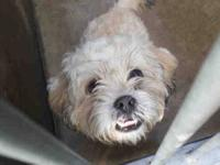 Lhasa Apso - Captain Hook - Medium - Young - Male -