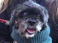 Lhasa Apso - Charlie (available From Foster Home) -
