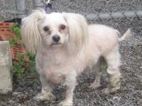 Lhasa Apso - Chuckie - Small - Young - Male - Dog