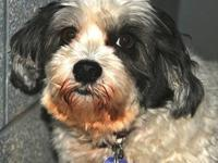 Lhasa Apso - Hazel - Small - Adult - Female - Dog Lhasa