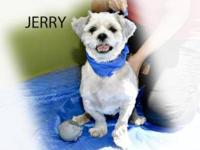 Lhasa Apso - Jerry - Medium - Adult - Male - Dog 5