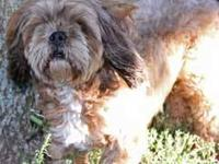"Lhasa Apso - Kingston - Small - Young - Male - Dog ""I"