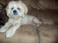 Lhasa Apso - Laro - Small - Young - Male - Dog Laro is
