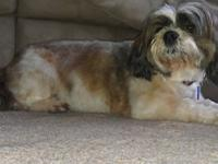 Lhasa Apso - Lexee - Small - Young - Female - Dog Meet