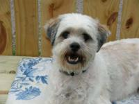 Lhasa Apso - Maxaroni - Small - Young - Male - Dog Max